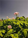 Flowering Potatoes on allotment Stock Photo - Premium Rights-Managed, Artist: foodanddrinkphotos, Code: 824-03722769