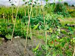 Mange Tout on allotment. Stock Photo - Premium Rights-Managed, Artist: foodanddrinkphotos, Code: 824-03722778