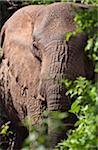 Kenya, An old elephant with one tusk feeds in the thick forest of the Aberdare National Park. Stock Photo - Premium Rights-Managed, Artist: AWL Images, Code: 862-03731450