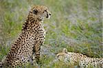 Kenya, Laikipia, Lewa Downs.  A cheetah watches over its sleeping sibling. Stock Photo - Premium Rights-Managed, Artist: AWL Images, Code: 862-03731605