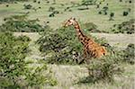 Kenya, Laikipia, Lewa Downs. Somali giraffe Stock Photo - Premium Rights-Managed, Artist: AWL Images, Code: 862-03731606