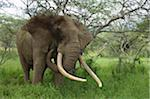 Kenya, Chyulu Hills, Ol Donyo Wuas.  A bull elephant with massive tusks browses in the bush. Stock Photo - Premium Rights-Managed, Artist: AWL Images, Code: 862-03731641