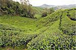 South East Asia, Malaysia, Perak State, Cameron Highlands, tea plantation, BOH Sungai Palas Tea Estate