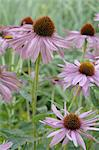 Purple coneflowers Stock Photo - Premium Royalty-Freenull, Code: 689-03733613