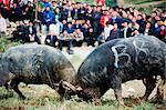 China, Guizhou Province, Leishan, water buffalo fighting festival Stock Photo - Premium Rights-Managed, Artist: AWL Images, Code: 862-03736530