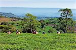 Kenya, Kericho District. Tea pickers pluck tea in one of the most important tea growing regions of Kenya. Stock Photo - Premium Rights-Managed, Artist: AWL Images, Code: 862-03736821