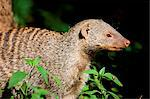 South Africa; North West Province; Madikwe Game Reserve. Close-up of a banded mongoose (Mungos mungo) Stock Photo - Premium Rights-Managed, Artist: AWL Images, Code: 862-03737080