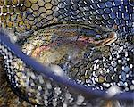 Close up of a Rainbow Trout in a net fished on Deep Creek, Kenai Peninsula, Southcentral Alaska, Autumn Stock Photo - Premium Rights-Managed, Artist: AlaskaStock, Code: 854-03739519