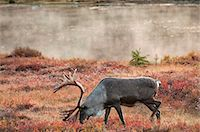 Bull caribou browses amidst the Autumn tundra on the north side of Wonder Lake in Denali National Park & Preserve, Interior Alaska, Fall Stock Photo - Premium Rights-Managednull, Code: 854-03739629