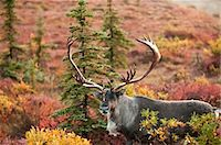 Bull caribou stands amidst the Autumn tundra on the north side of Wonder Lake in Denali National Park & Preserve, Interior Alaska, Fall Stock Photo - Premium Rights-Managednull, Code: 854-03739630