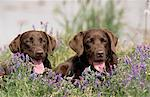 Chocolate Labrador Retriever dogs laying in a field of Hairy Vetch flowers in Anchorage, Southcentral Alaska, Summer Stock Photo - Premium Rights-Managed, Artist: AlaskaStock, Code: 854-03739800
