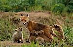 Six-week old fox kits at den site with their mother nursing, McNeil River State Game Sanctuary, Southwest Alaska, Summer Stock Photo - Premium Rights-Managed, Artist: AlaskaStock, Code: 854-03739811
