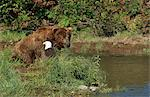 Grizzly bear and  Bald Eagle both fish for salmon on Mikfik Creek, McNeil River State Game Sanctuary, Southwest Alaska, Summer Stock Photo - Premium Rights-Managed, Artist: AlaskaStock, Code: 854-03739816