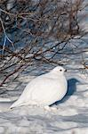 Adult male Willow Ptarmigan in white winter plumage, Denali National Park and Preserve, Interior Alaska, Winter Stock Photo - Premium Rights-Managed, Artist: AlaskaStock, Code: 854-03740102