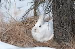 Snowshoe Hare in white winter coat nestles on patch of snow free ground near Savage River Campground in Denali National Park and Preserve, Interior Alaska, Winter Stock Photo - Premium Rights-Managed, Artist: AlaskaStock, Code: 854-03740105