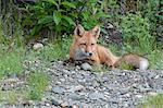 Red Fox kit rests amongst shrubs in Denali National Park and Preserve, Interior Alaska, Summer Stock Photo - Premium Rights-Managed, Artist: AlaskaStock, Code: 854-03740113