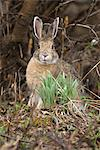 Snowshoe Hare sits next to new growth grass in Denali National Park and Preserve, Interior Alaska, Spring Stock Photo - Premium Rights-Managed, Artist: AlaskaStock, Code: 854-03740119