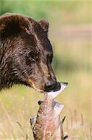 Portait of a Grizzly bear holding a pink salmon in its mouth at the Alaska Wildlife Conservation Center, Southcentral Alaska, Summer, Captive Stock Photo - Premium Rights-Managednull, Code: 854-03740175