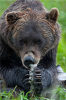 Portrait of a Brown Bear holding a chunk of salmon at the Alaska Wildlife Conservation Center, Southcentral Alaska, Summer. Captive Stock Photo - Premium Rights-Managednull, Code: 854-03740184