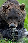 Portrait of a Brown Bear holding a chunk of salmon at the Alaska Wildlife Conservation Center, Southcentral Alaska, Summer. Captive Stock Photo - Premium Rights-Managed, Artist: AlaskaStock, Code: 854-03740184