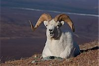 ram (animal) - Close up of a ram Dall Sheep laying on a hillside in Denali National Park and Preserve, Interior Alaska, Spring Stock Photo - Premium Rights-Managednull, Code: 854-03740194