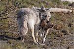 Coyote with a dead Snowshoe Hare in its mouth, Alaska Wildlife Conservation Center, Southcentral Alaska, Summer. Captive Stock Photo - Premium Rights-Managed, Artist: AlaskaStock, Code: 854-03740207