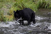 An adult Black bear grabs a Pink Salmon from a stream by Allison Point Campground in Valdez, Southcentral Alaska, Summer Stock Photo - Premium Rights-Managednull, Code: 854-03740209