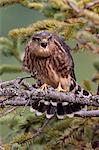 A Merlin sqawks while  sitting in a Spruce tree branch in Turnagain Pass, Kenai Peninsula, Southcentral Alaska, Summer Stock Photo - Premium Rights-Managed, Artist: AlaskaStock, Code: 854-03740217