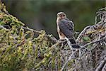 A Merlin (pigeon hawk) perches on a Spruce tree branch in Turnagain Pass, Kenai Peninsula, Southcentral Alaska, Summer Stock Photo - Premium Rights-Managed, Artist: AlaskaStock, Code: 854-03740218