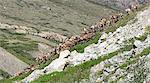 View of the Porcupine Caribou herd climbing a steep bank after swimming across the Hulahula River during their annual migration in ANWR, Arctic Alaska, Summer Stock Photo - Premium Rights-Managed, Artist: AlaskaStock, Code: 854-03740336
