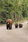 Grizzly sow and cubs walk down the main road near Brooks Camp, Katmai National Park and Preserve, Southwest Alaska, Summer Stock Photo - Premium Rights-Managed, Artist: AlaskaStock, Code: 854-03740371