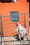Chicken in a pen Stock Photo - Premium Rights-Managed, Artist: foodanddrinkphotos, Code: 824-03744432