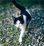 A black and white cat. Stock Photo - Premium Royalty-Free, Artist: Kablonk! RM, Code: 6102-03748161