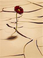 Flower blooming between cracks in mud Stock Photo - Premium Royalty-Freenull, Code: 635-03752782