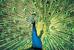 Peacock displaying Stock Photo - Premium Royalty-Free, Artist: Minden Pictures, Code: 618-03757965