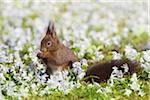 Eurasian Red Squirrel Feeding, Germany Stock Photo - Premium Rights-Managed, Artist: Christina Krutz, Code: 700-03766820