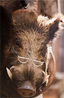 wild boar wearing glasses Stock Photo - Premium Royalty-Freenull, Code: 621-03768807