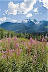 Fireweed and Oscar Peak, Coast Mountains, British Columbia, Canada Stock Photo - Premium Rights-Managed, Artist: J. A. Kraulis, Code: 700-03777157