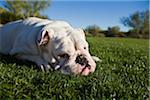 English Bulldog Lying Down in Park Stock Photo - Premium Rights-Managed, Artist: Steve Craft, Code: 700-03778509
