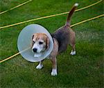 Beagle Dog Wearing Buster Collar Stock Photo - Premium Rights-Managed, Artist: ableimages, Code: 822-03780617