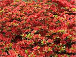 Rhododendron, Amstelpark, Amsterdam, North Holland, Netherlands Stock Photo - Premium Royalty-Free, Artist: Svenja Kaufmann, Code: 600-03782461