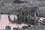 Zebras at waterhole,Etosha,Namibia Stock Photo - Premium Royalty-Free, Artist: Minden Pictures, Code: 693-03783153