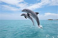 Common Bottlenose Dolphins Jumping out of Water, Caribbean Sea, Roatan, Bay Islands, Honduras Stock Photo - Premium Royalty-Freenull, Code: 600-03787211