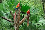 Scarlet Macaws on Tree Stump, Roatan, Bay Islands, Honduras Stock Photo - Premium Royalty-Free, Artist: Martin Ruegner, Code: 600-03787226