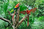 Scarlet Macaws on Tree Stump, Roatan, Bay Islands, Honduras Stock Photo - Premium Royalty-Free, Artist: Martin Ruegner, Code: 600-03787228