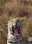 A close-up of a Leopard (Panthera pardus) yawning, Ithala, Kwazulu-Natal, South Africa Stock Photo - Premium Royalty-Free, Artist: AlaskaStock              , Code: 682-03797905