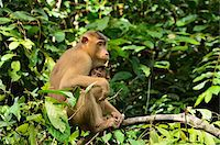 Macaque with Young, Sabah, Borneo, Malaysia, Asia Stock Photo - Premium Rights-Managednull, Code: 700-03805287