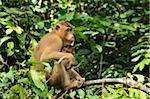 Macaque with Young, Sabah, Borneo, Malaysia, Asia Stock Photo - Premium Rights-Managed, Artist: Jochen Schlenker, Code: 700-03805287