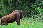 Orangutan, Lok Kawi Wildlife Park, Sabah, Borneo, Malaysia
