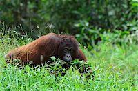 Orangutan, Lok Kawi Wildlife Park, Sabah, Borneo, Malaysia Stock Photo - Premium Rights-Managednull, Code: 700-03805299